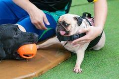 一起使用与玩具的两条狗在游泳池 免版税库存照片