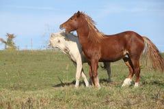 一起使用两匹幼小的公马 免版税库存照片