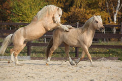 一起使用两匹惊人的公马 免版税库存图片