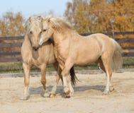 一起使用两匹惊人的公马 免版税库存照片
