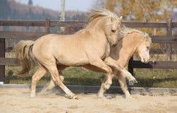 一起使用两匹令人惊讶的威尔士小马的公马 免版税库存照片