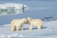 一起使用在冰的两北极熊崽 免版税库存图片