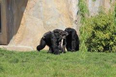 一起使用在动物园里的黑猩猩家庭在莱比锡在德国 免版税库存照片
