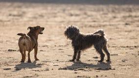 一起使用在海滩的两条杂种狗 免版税图库摄影