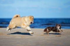 一起使用在海滩的两条狗 免版税库存图片