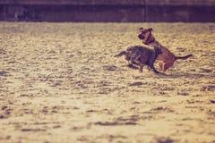 一起使用在海滩的两条杂种狗 免版税库存图片