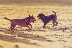 一起使用在海滩的两条杂种狗 图库摄影