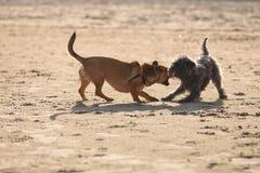 一起使用在海滩的两条杂种狗 免版税库存照片