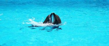一起使用在清楚的天蓝色的水池水中的两只海豚 免版税库存照片