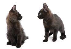 一起使用在白色背景前面的两只黑小猫 库存照片