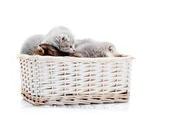 一起使用在白色背景的白色柳条筐的小的新出生的蓬松可爱的小猫在照片studi 免版税库存图片