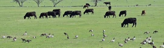 一起吃草和啄在和谐中的加拿大鹅黑雁canadensis母牛和鹅群牧群在一个农村农场在Bluffdale 库存照片