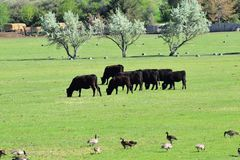 一起吃草和啄在和谐中的加拿大鹅黑雁canadensis母牛和鹅群牧群在一个农村农场在Bluffdale 免版税库存图片