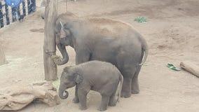 一起哺养在塔朗加动物园,Mosman NSW,澳大利亚的母亲和婴孩大象 免版税库存图片