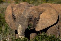 一起哺养两头的大象 免版税库存照片