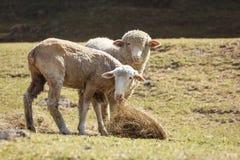 一起哺养在草的两只绵羊,小山背景 免版税库存照片