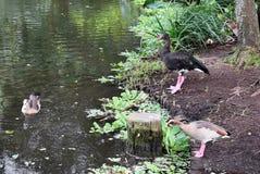 一起四只鸭子 免版税库存照片