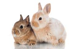 一起坐二只逗人喜爱的小的兔子 免版税库存图片