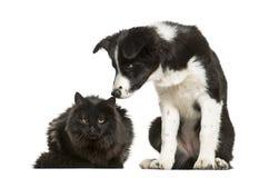 一起坐反对白色的博德牧羊犬小狗和恶意嘘声 免版税库存照片