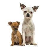 一起坐奇瓦瓦狗的成人和的小狗, 3个月 免版税图库摄影