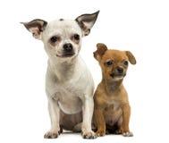 一起坐奇瓦瓦狗的成人和的小狗, 3个月 免版税库存照片