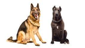 一起坐德国牧羊犬和斯塔福德郡的狗 免版税库存照片