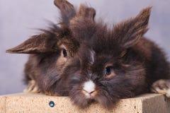 一起坐毛茸的狮子头兔子的bunnys 库存照片