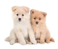 一起坐白色的逗人喜爱的pomeranian小狗 库存图片