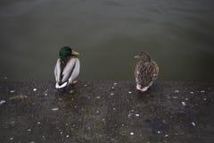 一起坐象一对老已婚夫妇的一个对鸭子 库存图片