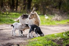 一起山羊和孩子在森林,小山羊,吃草的山羊里 免版税库存图片