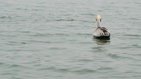一起布朗鹈鹕和海豚在口岸Aransas得克萨斯的水中 股票视频