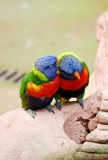 一起拥抱明亮的色的鹦鹉 库存照片