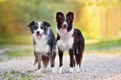 一起摆在两条博德牧羊犬的狗 免版税图库摄影