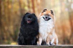 一起摆在两条可爱的波美丝毛狗的狗户外 免版税库存图片