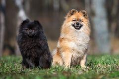 一起摆在两条波美丝毛狗的狗 免版税图库摄影