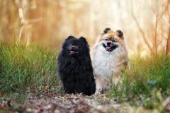 一起摆在两条波美丝毛狗的狗 库存图片