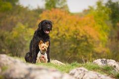 一起摆在两条的狗 免版税图库摄影