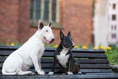一起摆在两条英国杂种犬的狗户外 库存图片