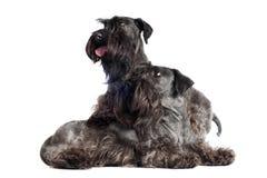 一起摆在二条滑稽的有胡子的狗 免版税库存照片