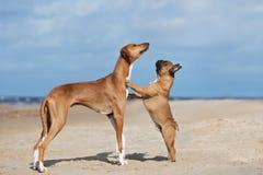 一起摆在海滩的两条可爱的狗 图库摄影