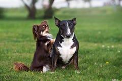 一起摆在草的两条可爱的狗 免版税图库摄影
