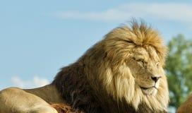 一起放置两三头的狮子照片  图库摄影