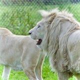 一起放置两头白色的狮子美丽的照片  库存图片
