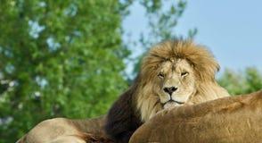 一起放置两头的狮子照片  免版税库存图片