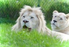 一起放置两头白色的狮子的被隔绝的图象 图库摄影