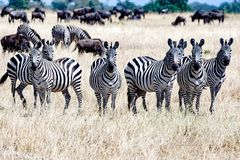 一起斑马在塞伦盖蒂,坦桑尼亚非洲,小组在角马之间的斑马 库存图片
