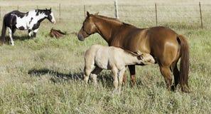 一起母马和驹在领域 库存照片
