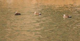 一起游泳三只的鸭子 免版税库存图片