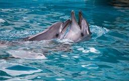 一起游泳两只的海豚 免版税图库摄影