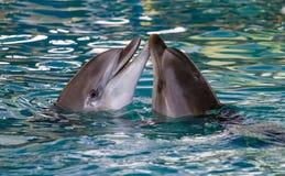 一起游泳两只的海豚 库存图片